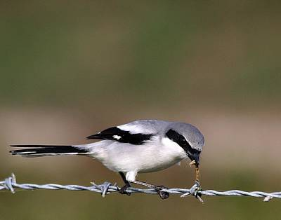 Photograph - Loggerhead Shrike With Caterpillar  by Ira Runyan