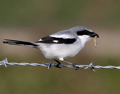 Photograph - Loggerhead Shrike With Lunch by Ira Runyan