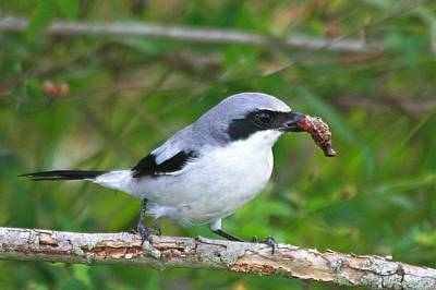 Photograph - Loggerhead Shrike With Pray by Ira Runyan