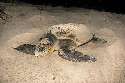 Nature Nesting Photograph - Loggerhead Turtle Covering Its Nest by Tony Camacho