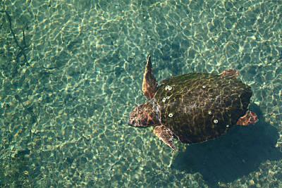 Photograph - Loggerhead Turtle In Homosassa Spring Run by Jean Clark