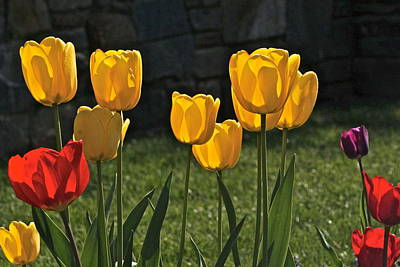 Lollipop Tulips And Grass And Stone Wall Print by Byron Varvarigos