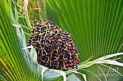 Photograph - Lolou Palm Tree Berries Tropical Plant by Valerie Garner
