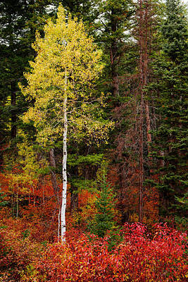 Contrast Photograph - Lone Aspen In Fall by Chad Dutson