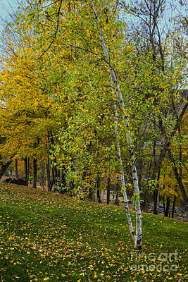 Photograph - Lone Birch by Rick Bragan
