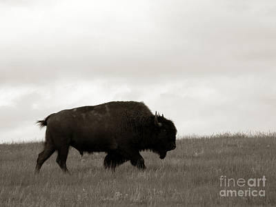 Migration Photograph - Lone Bison by Olivier Le Queinec
