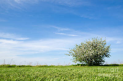 Photograph - Lone Blossom Apple Tree At Blue Sky by Kennerth and Birgitta Kullman