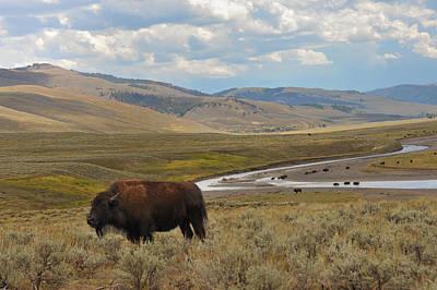 Photograph - Lone Buffalo by Harry Spitz