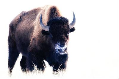 Photograph - Lone Bull by Donald J Gray
