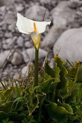Photograph - Lone Calla Lily by Melinda Ledsome