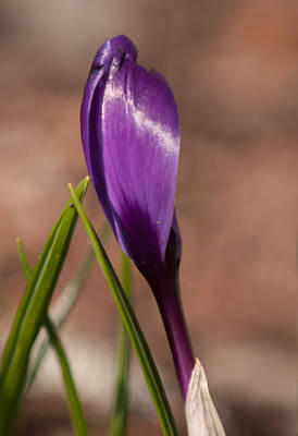 Photograph - Lone Crocus by Lara Ellis