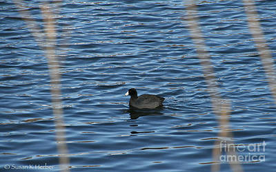 Photograph - Lone Duck by Susan Herber