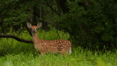 Photograph - Lone Fawn by Michael Porchik