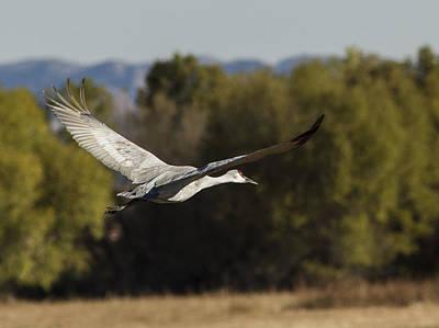 Photograph - Lone Flying Sandhill Crane by Jean Noren