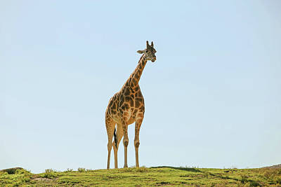Lone Giraffe Art Print by Daniela Duncan