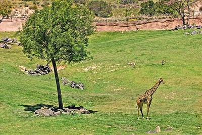 Photograph - Lone Giraffe by Jane Girardot