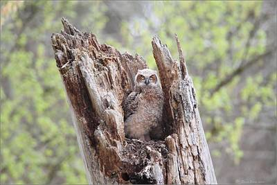 Photograph - Lone Great Horned Owlet In Nest by Daniel Behm