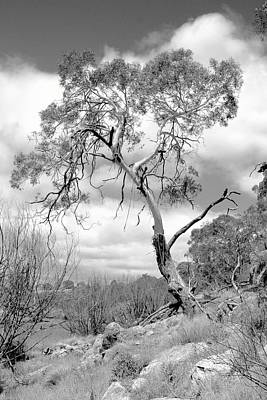 Photograph - Lone Gum Tree In Black And White by David Rich