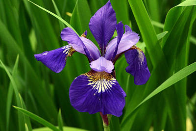 Photograph - Lone Iris by Kim Hymes