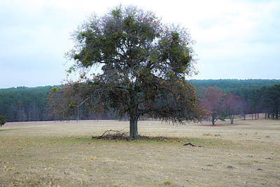 Photograph - Lone Oak In Pasture by Mez