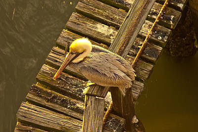 Photograph - Lone Pelican Resting In The Morning Sunrise by Reid Callaway