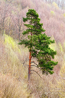 Art Print featuring the photograph Lone Pine by Les Palenik