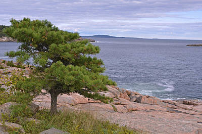 Photograph - Lone Pine Over The Sea by Lynda Lehmann