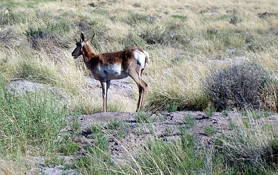 Photograph - Lone Pronghorn by Susan Woodward