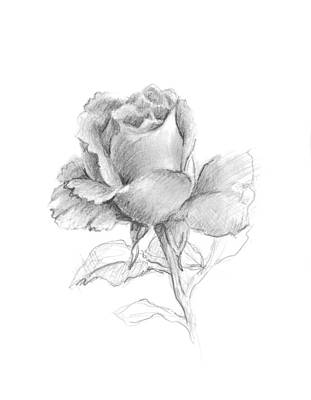 Rosebud Drawing - Lone Rose by Sarah Parks