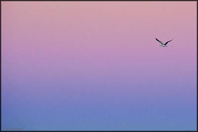 Photograph - Lone Seagull by Erika Fawcett
