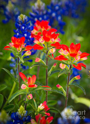 Paintbrush Photograph - Lone Star Blooms by Inge Johnsson