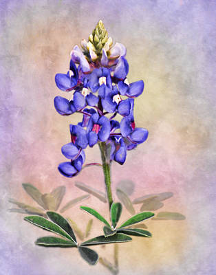 Photograph - Lone Star Bluebonnet by David and Carol Kelly