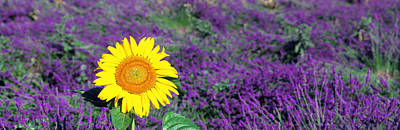 Flower Blooms Photograph - Lone Sunflower In Lavender Field France by Panoramic Images
