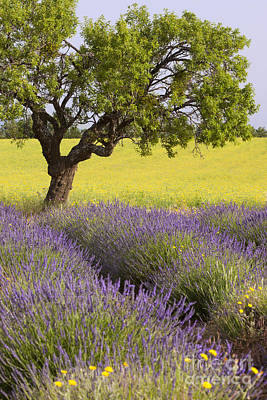 Photograph - Lone Tree In Lavender Field by Brian Jannsen