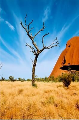 Lone Tree Uluru Art Print