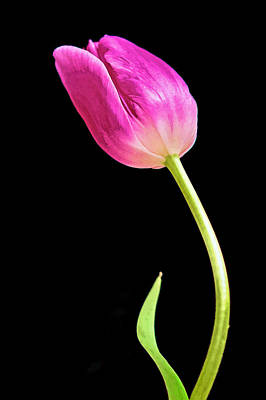 Photograph - Lone Tulip by Jerry Gammon