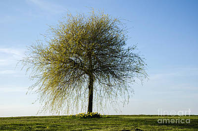 Photograph - Lone Wide Tree by Kennerth and Birgitta Kullman