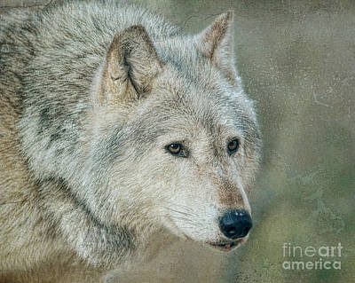 Photograph - Lone Wolf by Lisa Cockrell