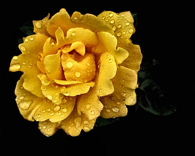 Lone Yellow Rose Art Print