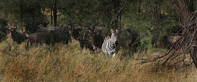 Gold Pattern - Lone Zebra by Joseph G Holland