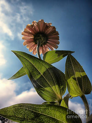By Thomas Woolworth Photograph - Lone Zinnia 01 by Thomas Woolworth