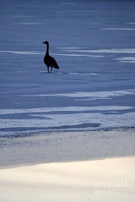 Photograph - Lonely Goose by A K Dayton