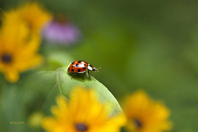 Beetle Photograph - Lonely Ladybug by Christina Rollo
