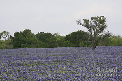 Photograph - Lonely Tree In Bluebonnets by Jerry Bunger
