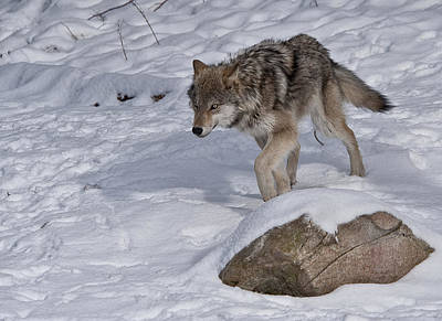Photograph - Lonely Wolf by Patrick Boening