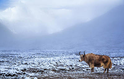 Yak Wall Art - Photograph - Lonely Yak In The Himalayas, Nepal by Feng Wei Photography