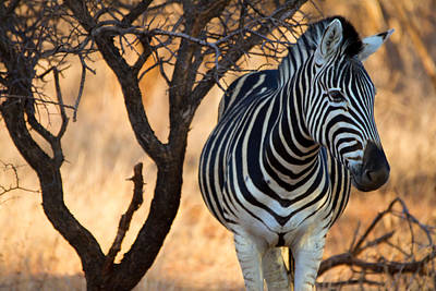 Photograph - Lonely Zebra by Phil Stone