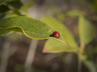 Photograph - Lonesome Ladybug On A Leaf by MM Anderson