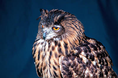 Photograph - Long - Earred Owl by Shirley Mitchell