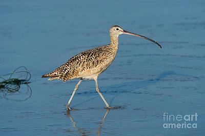 Long-billed Curlew Photograph - Long-billed Curlew by Anthony Mercieca